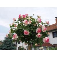 Комплект 3 саженца Роза Эден Роуз (штамбовая)