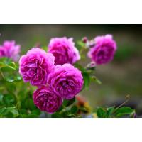 Роза Мелина (шраб)