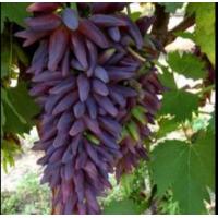 Виноград Ведьмины Пальцы - Кишмиш (Средний/Фиолетовый)