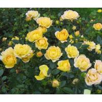 Роза Yellow Fairy ( Еллоу Фейри) (почвопокровные)