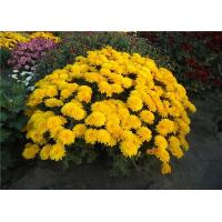 Хризантема Branindio (Мультифлора/Желтая)