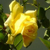 Роза Клаймбинг Голдмари (плетистая)