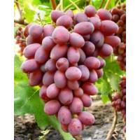 Виноград Ризамат (Ранний/Розовый)