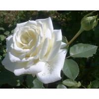 Роза Пола Штерн(чайно-гибридная)