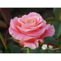 Роза Мисс Пигги(чайно-гибридная)