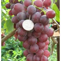 Виноград Юбилей Журавля (Ранний/Белый)