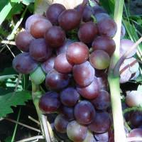 Виноград Вишенка (Ранний/Красный)