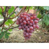Виноград Анюта (Ранний/Розовый)