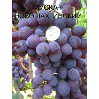 Виноград Новошахтинский (Ранний/Красный)