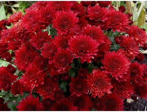 Хризантема Branhill Red (Мультифлора/Бордовая)