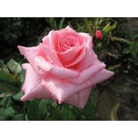 Роза Эйфель Тауэр(чайно-гибридная)