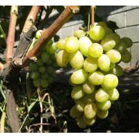 Виноград Ладанный (Ранний/Белый)
