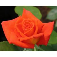 Роза Моника(чайно-гибридная)