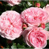 Роза Мария Терезия (флорибунда)