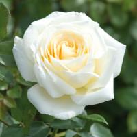 Роза Крем де ля крем (флорибунда)