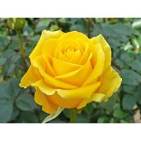Роза Скайлайн(чайно-гибридная)
