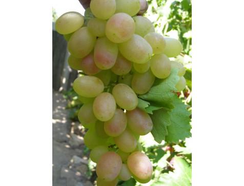 Виноград Кеша (Поздний/Белый)