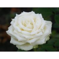 Роза Эдвин(чайно-гибридная)