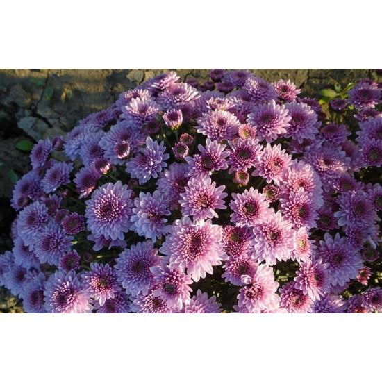 Хризантема Bransound Purple (Мультифлора/Сиреневая)