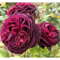 Роза Астрид Графин (парковая)